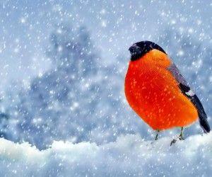 Snow szezon narancs aranyos madár HD háttérképek