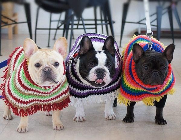 3 French Bulldogs in ponchos - Lindsay this is the perfect dog for you!! :)