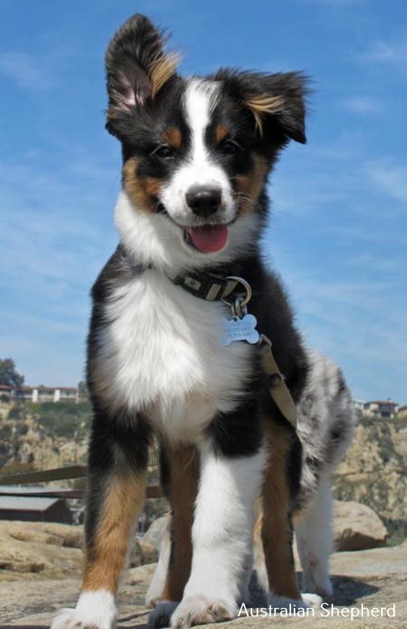 Dogs And Puppies Austrailian Shepard Puppies Austrailian Shepard Hunde Und Welpen Australischer Sch In 2020 Australian Shepherd Dogs Shepherd Puppies Cute Animals