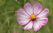 Pink and White Cosmos Flower