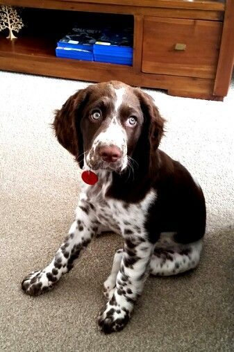 Maddie 12wks #English Springer Spainel..#butter wouldn't melt in her mouth..
