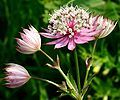 Astrantia major - Wikipedia, the free encyclopedia