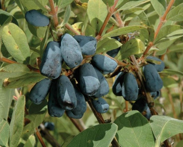 Blue Velvet Honeyberry - Honeyberry Plants - Stark Bro's