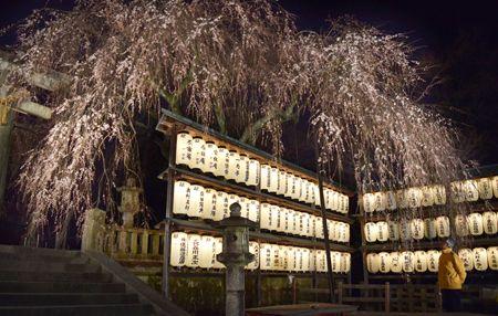 試験点灯で、夜空に幻想的に映し出された御神木のシダレザクラ(京都市山科区西野山・大石神社)