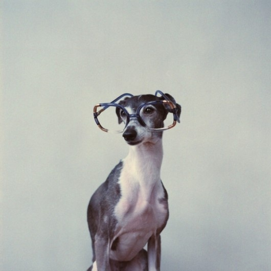 whippet? yes: Animal Planets, Whippets Iggy Greyhounds, Animals, Animal Stuff, Old Dogs, Hipster Dogs, Animal Parade, Dogs Perro, Italian Greyhounds