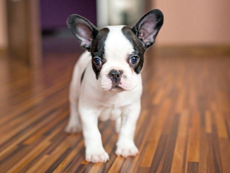 Französische Bulldogge: So süß sind ihre Welpen