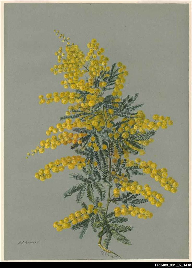 Golden wattle. Rosa Fiveash was the most accomplished and the best known of the late 19th and early 20th century South Australian botanical artists. Her drawings are aesthetically attractive without detracting from their scientific accuracy. The Library is fortunate to hold 130 artworks in this series of watercolours of South Australian and Australian flowering plants donated by Rosa Fiveash in 1937. http://www.samemory.sa.gov.au/site/page.cfm?u=460&c=2258