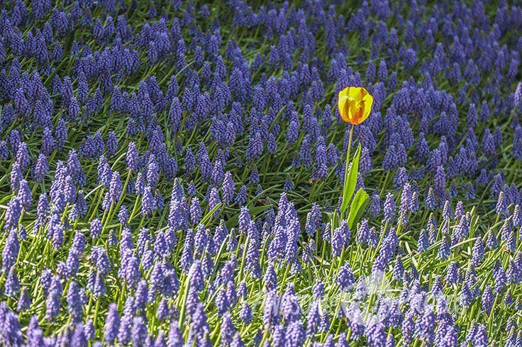 54-awesomefreephotos-flowers-tulip-750