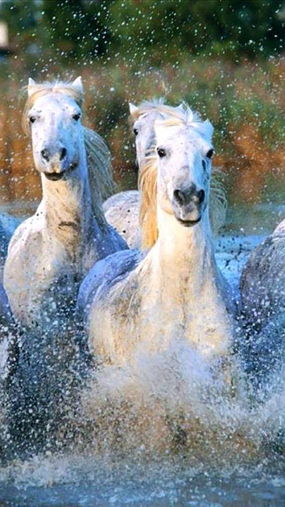 Camargue Horses Camargue Horse Horses Camargue