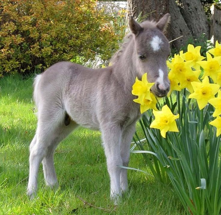 Miniature horse - Horses, ponies and miniature are divided by heights : A miniature horse can reach a maximum height of 38 inches, or 9.5hh. However, a pony for sale can be between 9.2hh and 14.2hh. - Pixdaus