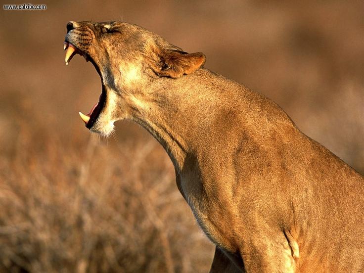 Worksheet. Ms de 25 ideas increbles sobre Lioness images en Pinterest