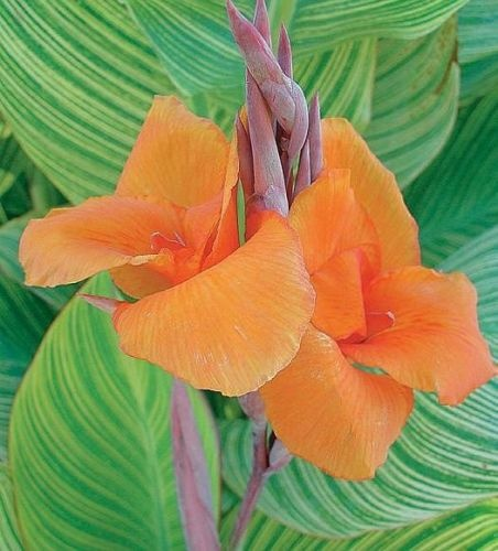 bengal tiger water canna 18 tall hardy easy grow pond or garden pretty flowers amazing. Black Bedroom Furniture Sets. Home Design Ideas