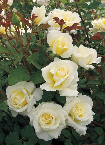 White Licorice.  I planted this rose last year.  It's a knock out and easy to care for.  Thinking about adding a second one this year.