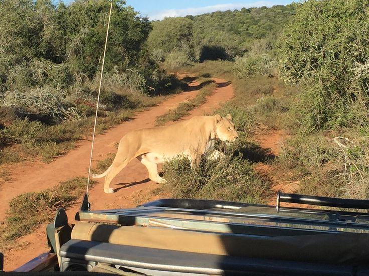 Got very close to a lion at the Addo Elephant Park