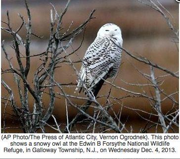 Snow Birds Flock South To Spy On White Snowy Owls