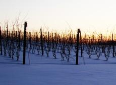 Vineyard in snow...