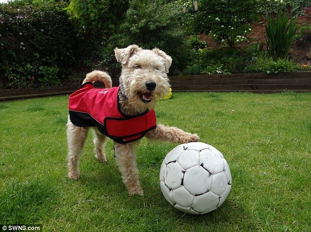 Having a ball: Waffle the Lakeland terrier likes to sniff out hundreds of old balls whenev...