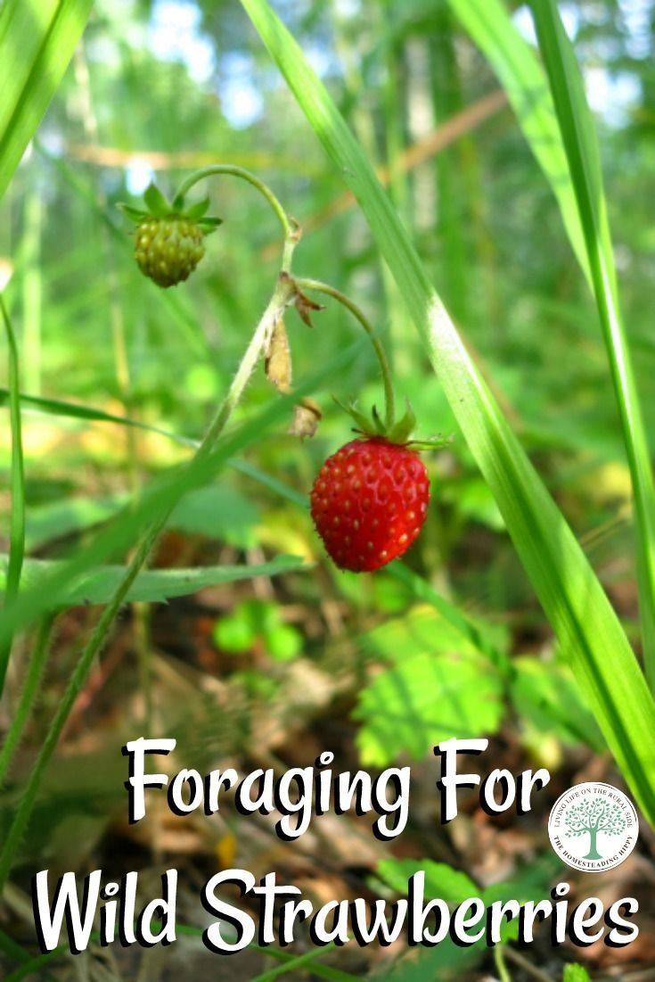 Are wild strawberries edible? What about mock strawberries? Find out before you go foraging for these! The Homesteading Hippy via @homesteadhippy