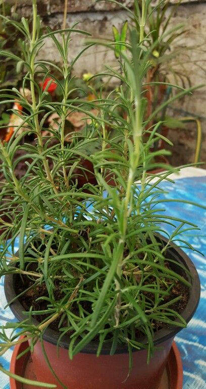 """"""" El Romero """" - Nombre científico: Rosmarinus officinalis. - Nombre/s comunes: Romero. - Origen: Reigión mediterránea. - Familia: Lemiaceae. *Características: - Hojas: Las hojas son pequeñas y abundantes. Tienen dos partes, el borde que es de corlor verde y la otro parte que tiene un color blanquecino. - Flores: Sus flores son de unos 5 mm de largo, son aromáticas y tienen un color violeta pálido, rosa o blanco. Se suelen localizar en la cima de las ramas. - Estilo: Arbusto. - Altura: Puede…"""