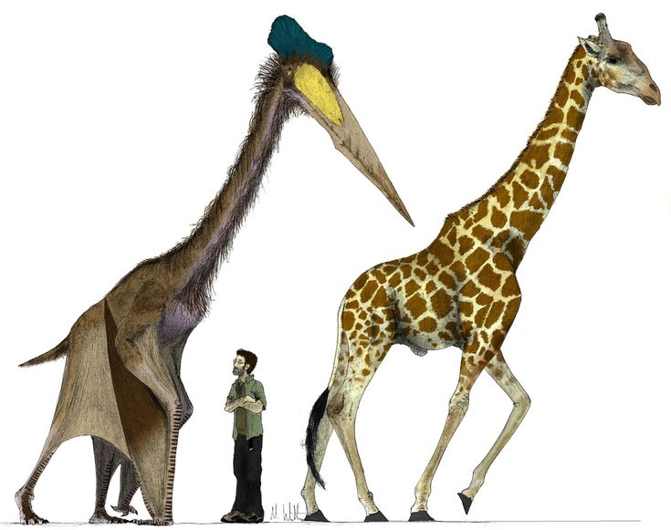 The ancient pterosaur, Quetzalcoatlus. Can you imagine seeing that beast?! On it's fours or in the sky
