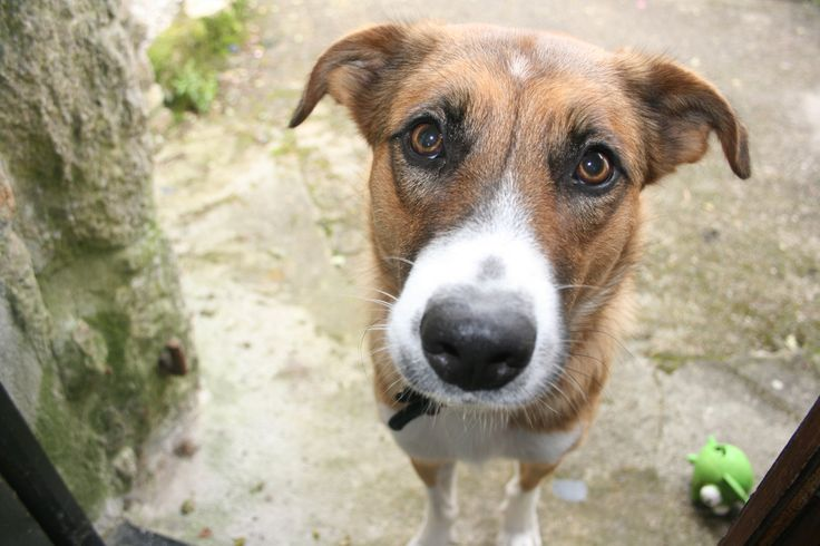 Jari. Welsh sheepdog.