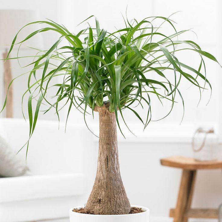 бутылочные комнатные растения картинки свою