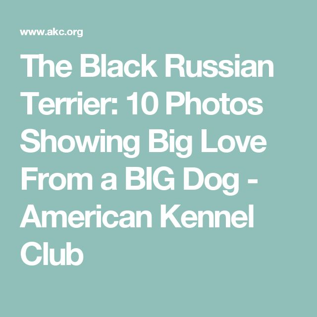 The Black Russian Terrier: 10 Photos Showing Big Love From a BIG Dog - American Kennel Club