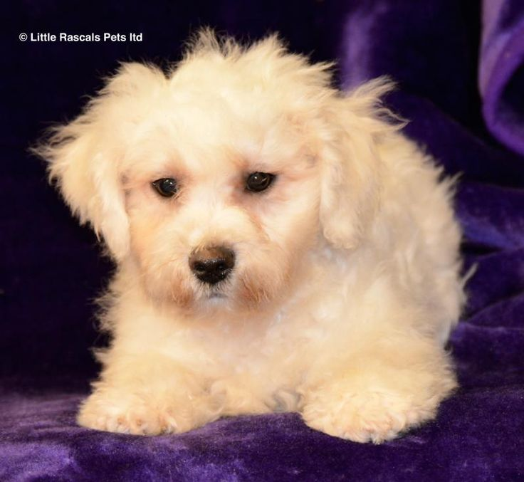 Zuchon Puppies - Designer and Cross Breed Puppies For Sale