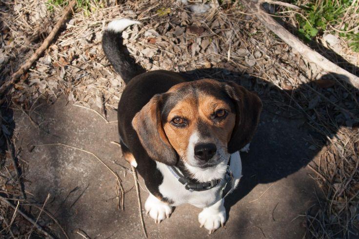 Molly Moo Moo the Mini Beagle