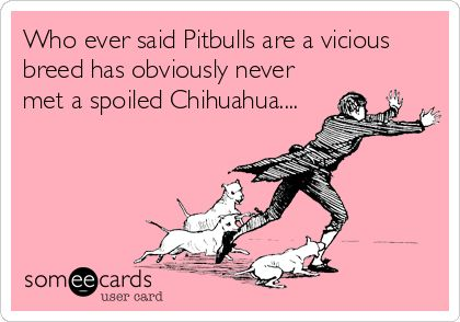 Who ever said Pitbulls are a vicious breed has obviously never met a spoiled Chihuahua....