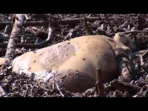 Desastre de Mariana - Boiando na lama um Homem ou animal? - YouTube