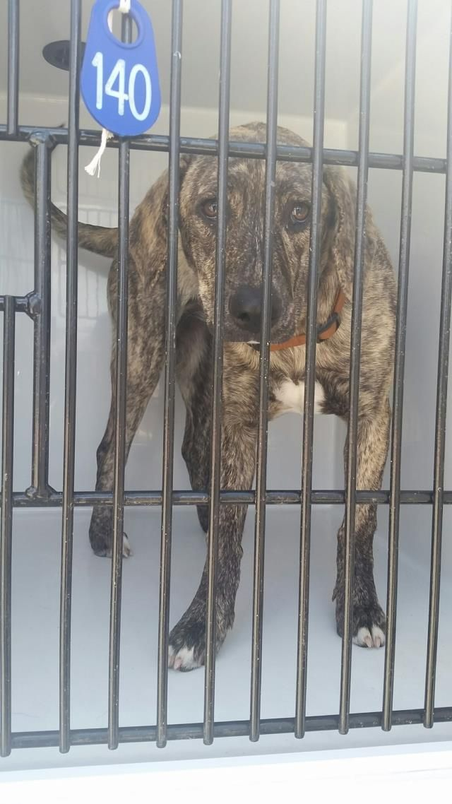 ~~eu date Wed., 03/22/17!!~~NOT SAFE!!needs an adoption hold by 5:30pm OR a rescue group to claim by 5:50pm WEDNESDAY 3/22/17.  HOUSTON-EXTREMELY URGENT -This DOG - ID#A479747    I am a female, brown brindle and white Plott Hound and Labrador Retriever.    The shelter staff think I am about 11 months old.  Harris County Public Health and Environmental Services. https://www.facebook.com/harriscountyanimalshelterpets/videos/1463615270368933/