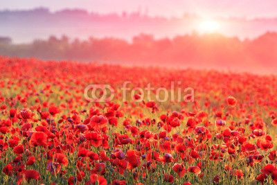 red poppy field in morning mist ©Pavel Klimenko