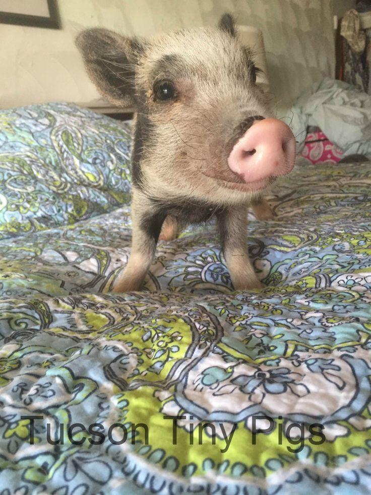 """Silo"" | Mini Pig | Juliana Pig| Tucson Tiny Pigs|"