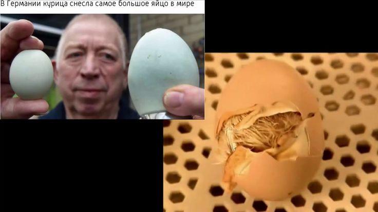 В Германии курица снесла самое большое яйцо в мире