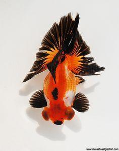 Modern Tee - Goldfish On Black by VIDA VIDA Pick A Best Sale Online Outlet Best Sale Online Sale Store Online Buy Cheap Get To Buy yAPHuy