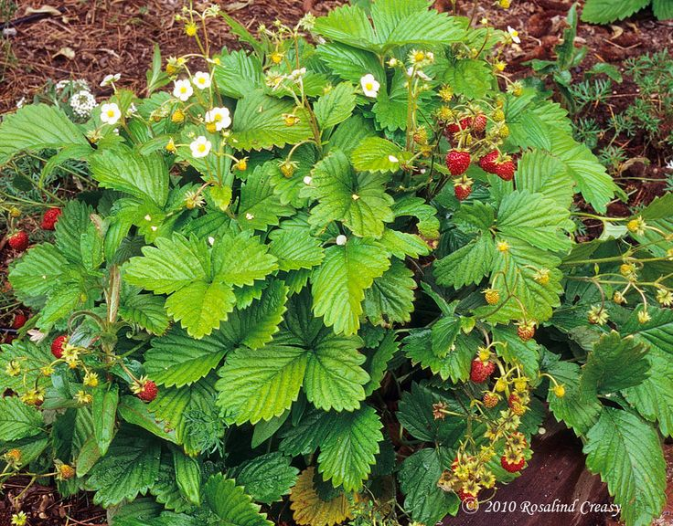 Alpine strawberries do not produce runners and tolerate light shade, making them perfect for a woodland path.