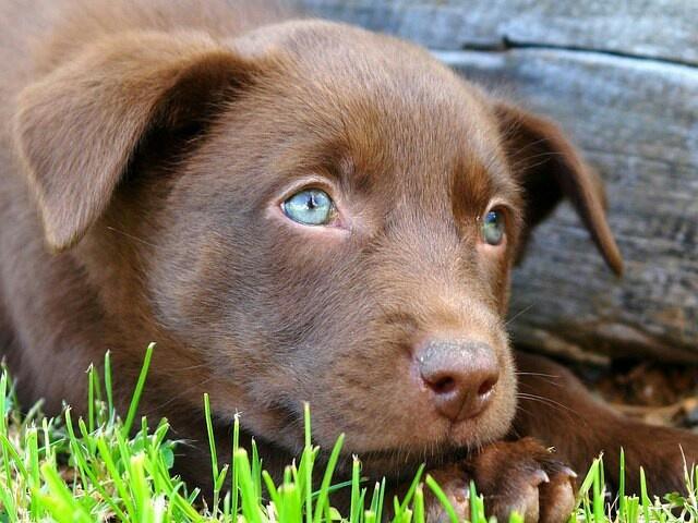 Gorgeous blue eyed Kelpie puppy