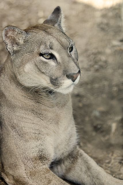 Puma (Puma concolor), here has a 'silver gray' coat. Cougar coloring is plain (hence the Latin concolor) but can vary greatly between individuals and even between siblings. The coat is typically tawny, but ranges to silvery-grey or reddish, with lighter patches on the underbody, including the jaws, chin, and throat. Infants are spotted and born with blue eyes and rings on their tails; juveniles are pale, and dark spots remain on their flanks.