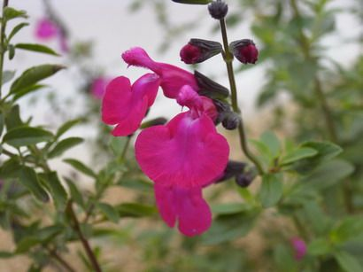 SALVIA microphylla Pink Blush | Sauge arbustive Pink Blush | Pépinière en ligne de Kerzarc'h