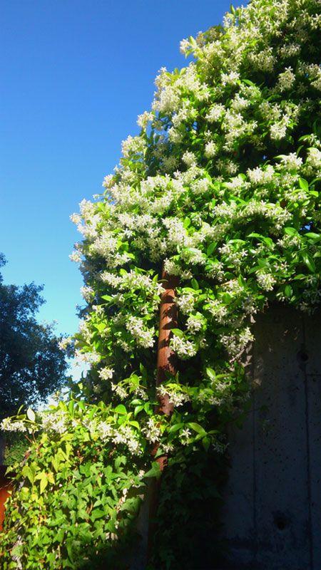 Jazmín estrellado - La trepadora perenne mas versátil y con mas atractivos durante todo el año. Flores perfumadas a principios de verano, sus hojas se tornan anaranjadas en invierno. En los días en que se empieza a sentir el calor, podemos percibir su perfume en muchos jardines y rincones.