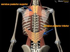 This is what hurts, the inferior and all the ribs it attaches to. serratus posterior thoracic vertebrae thoracic spine