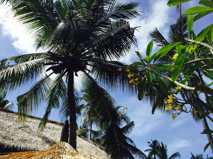 Coconut palm trees and frangipani tree at Captain Coconuts Gili Air
