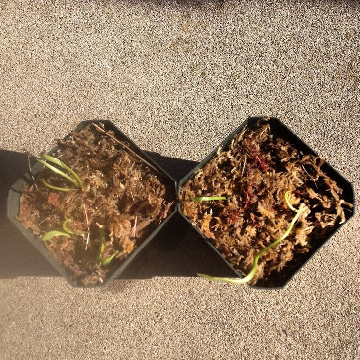 got two pairs of vfts and purps yesterday 3 had to snip off their flower stalks - - #carnivorousplants #cps #venusflytrap #pitcherplant #sarracenia #sarraceniapurpurea #dionaea #dionaeamuscipula #californiacarnivores #plant #plants #gardening #spring #growing #botany by nepenthes.miranda