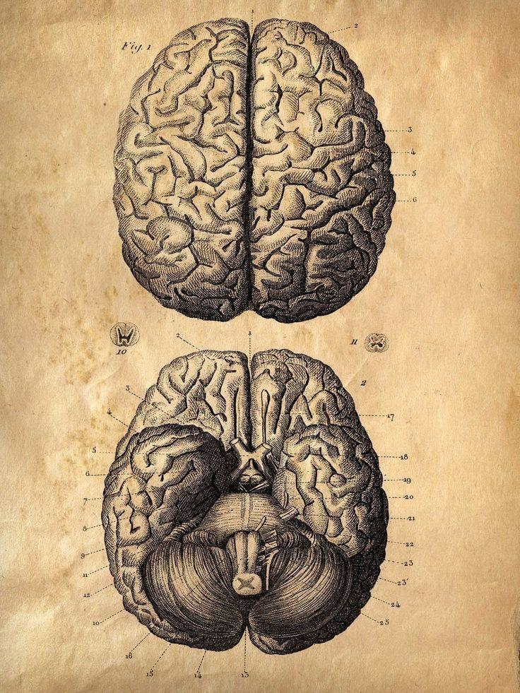 Vintage Anatomy. Brains. 18x24 poster. Human Body Science.