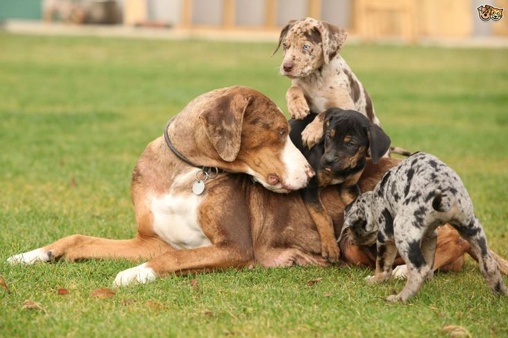 Catahoula Leopard Dog Mum and her Puppies