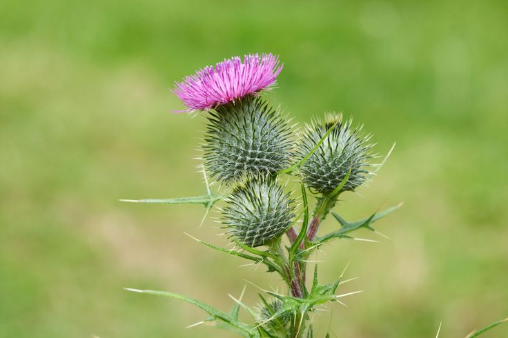 Bull thistle is a prickly biennial that grows freely in disturbed soils, pastures, ditches, roadsides and unmanaged spaces. Read here to learn how to get rid of bull thistle and prevent this prolific weed from taking over your garden.