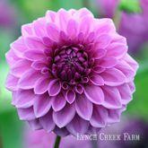 Julie Plendy Huge selection of lavender dahlias for sale.