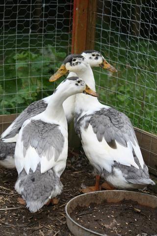 Trio blue magpie ducks