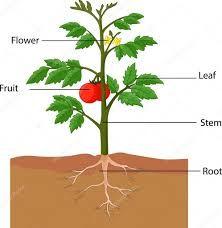 """Képtalálat a következőre: """"paradicsom növény"""""""